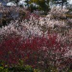 梅、近っ飛鳥風土記の丘