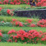 奈良明日香の彼岸花
