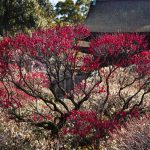 道明寺の梅、7分咲き